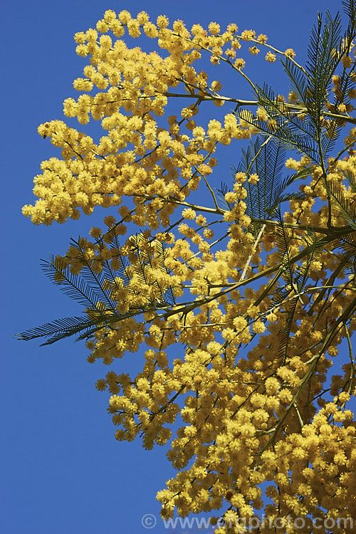 Acacia Decurrens Photo In 2020 Acacia Yellow Flowers Evergreen Trees