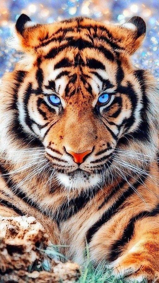 Tigre De Bengala Tiger Pictures Big Cats Photography Majestic Animals Wallpaper full hd bengala wallpaper