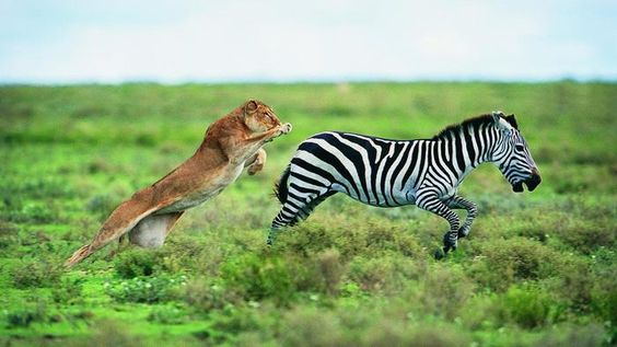 What animals are predators of the zebra?