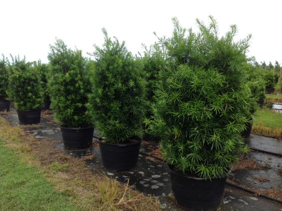 dating yew trees The trees are certified as over one thousand years old note, though, that dating yew trees is not a simple how the yew tree should look in act ii's garden.