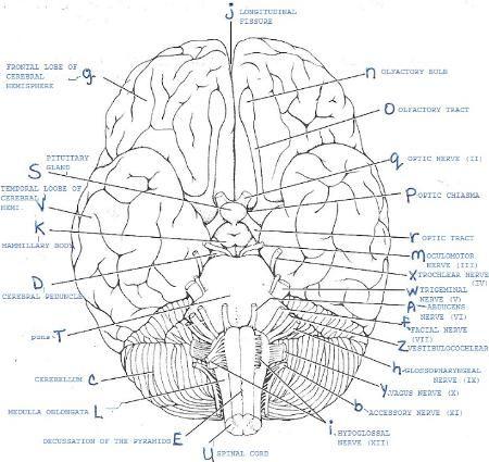 cranial nerves cerebrospinal fluid and gross anatomy on pinterest. Black Bedroom Furniture Sets. Home Design Ideas