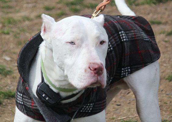 The Lazy Pit Bull: The Power of Social Networking For Shelter Dogs