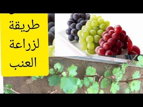 طريقة زراعة أقلام العنب بسهولة ونسبة النجاح عالية جدا عقل العنب Vitis Species Youtube Fruit Grapes Food
