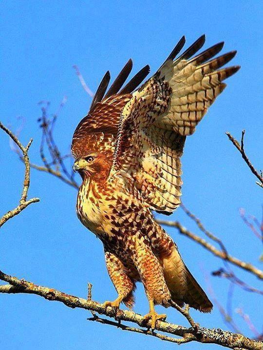 NAA - Eagle