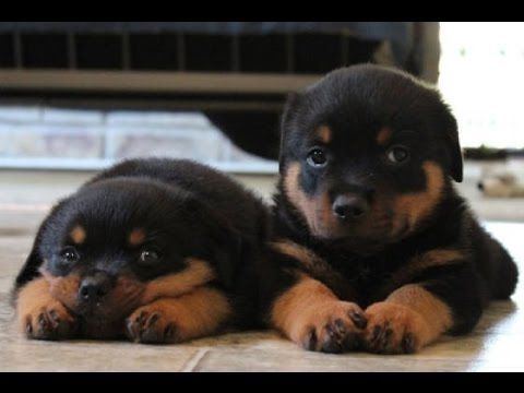 Cutest Rottweiler Puppies Of All Time Funny Puppy Videos Compilation New Hd Puppyvideos Hunde Welpen