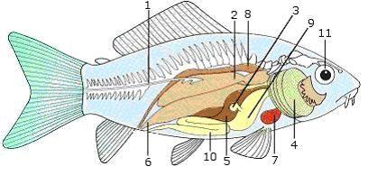Anatomie ryb:: Nachytáno.cz
