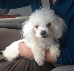Oliver is an adoptable Poodle Dog in Danbury, CT. If you are interested in ADOPTING this baby, click here for an  ONLINE APPLICATION Name:   OLIVER  Breed:   Poodle- Maltese X Gender & Age:  Male-  ju...
