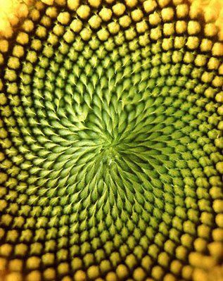 Fibonacci sequence, sunflower heart