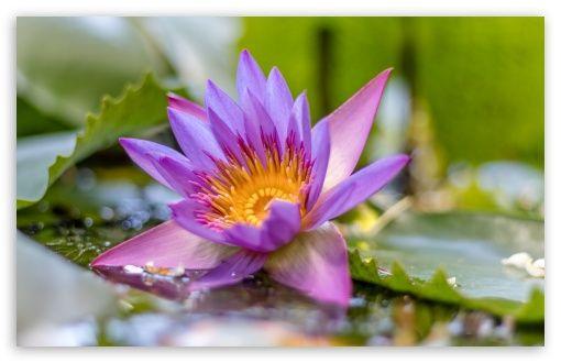 Download Lotus Flower Hd Wallpaper Nature Desktop Wallpaper
