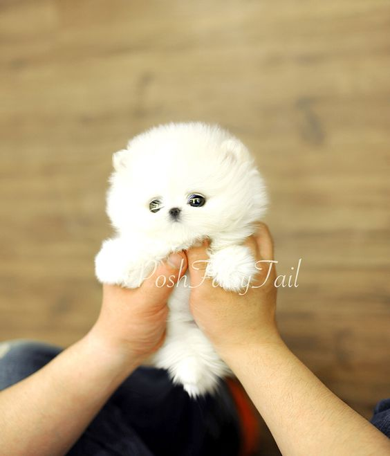 Cutest posh Pomeranian More available at www.poshfairytail