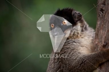 Lémure/Lemur by Dina – Moderimage