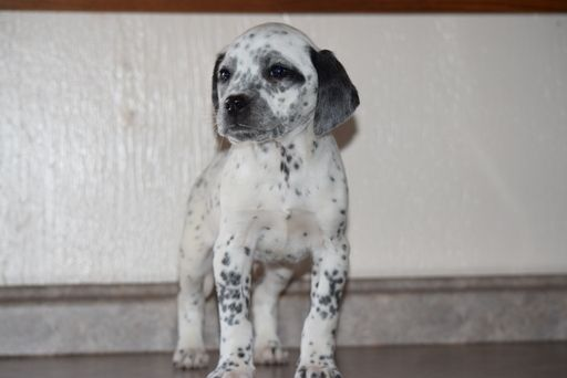 Beagle Dalmatian Mix Puppy For Sale In Fredericksburg Oh Adn