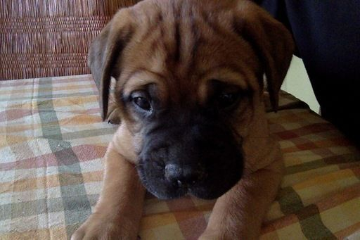 Bullmastiff Puppy For Sale In Manassas Va Adn 26828 On