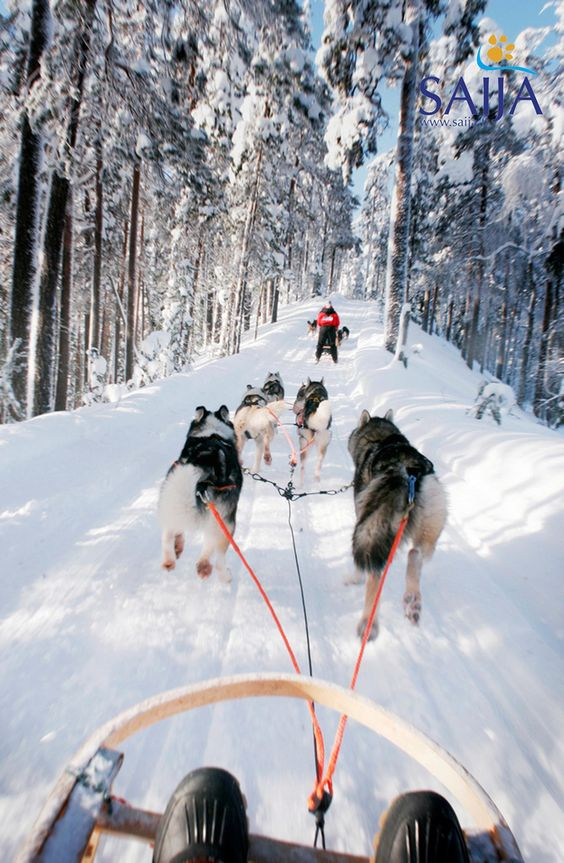 Husky Safari. Lapland, Finland. http://thenomadlab.com/post/12202692759/huskysafari Cabins in Saariselkä http://www.saariselka.com