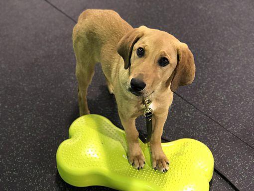 Chicago Il Labrador Retriever Meet Holly A Pet For Adoption Pet Adoption Labrador Retriever Dog Adoption