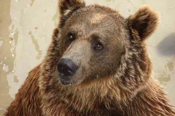 Zoo-Bound Bear Escapes Wildlife Refuge