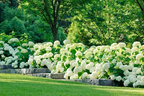 Lush Hydrangea Hedge