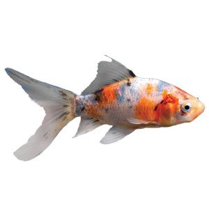 Shubunkin goldfish live fish petsmart office pets for How much are fish at petsmart