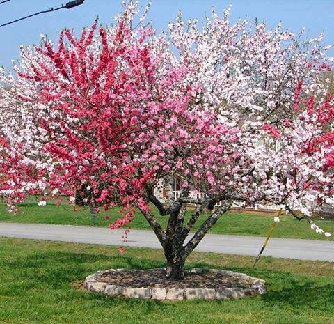Cherry tree with many colors