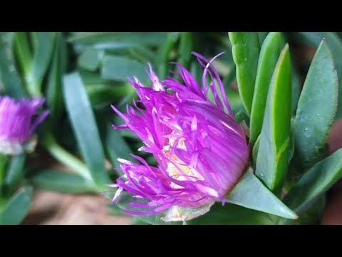 أصابع الساحرة Griffe De Soriciere لعلاج البهاق الأكزيما التولال الصيبانة الجروح و الحروق Youtube Plants Healthy Living Health