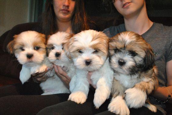 Our first litter of shih tzu / lhasa apso babies, born 10/29/14. Cowboy, Cowgirl, Jake Jr, Maddie Jr. Now named Murphy, Nutmeg, Baby Jake, Mitzi
