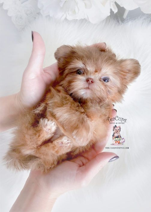 Tiny Shih Tzu Puppy For Sale Teacup Puppies 368 B In 2020 Teacup Puppies Teacup Puppies For Sale Shih Tzu For Sale