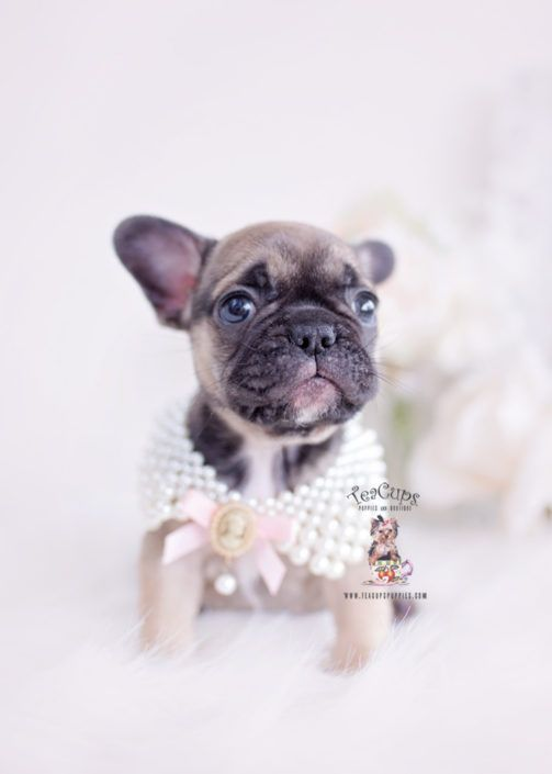 Sable French Bulldog Puppy For Sale Teacup Puppies 307