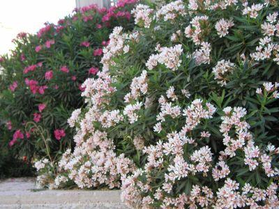 Laurel de flor enano buscar con google laureles de flor pinterest nerium - Laurel de jardin ...