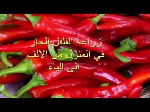 زراعة الفلفل الحار الشطة في المنزل من الالف الى الياء Cultivate Chili Ch Stuffed Peppers Vegetables Food