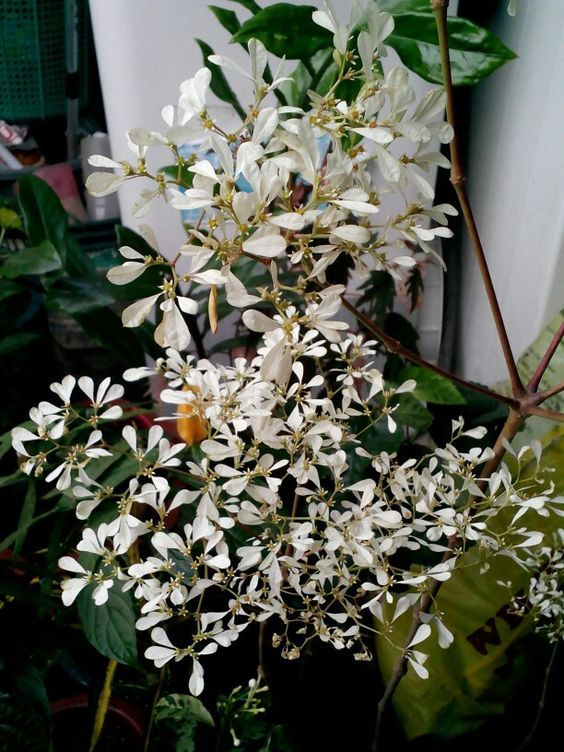 Very nice plant. Don't know it's name. Very fragrant. Leaves are so small, almost all that's in it are flowers.....