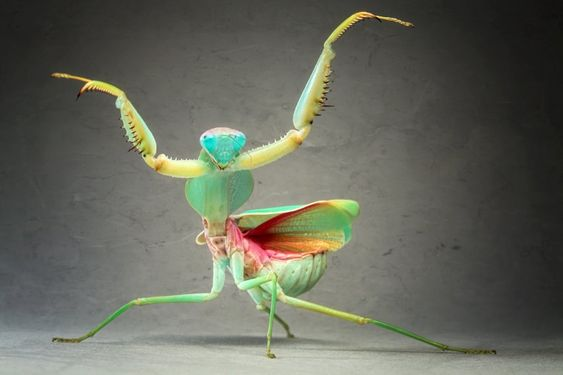 Igor Siwanowicz  When the praying mantis (Rhombodera basalis) feels threatened, she transforms herself into a dancing alien. This species, native to Malaysia, grows to be as much as 10 centimeters. When the mantis goes into her famous praying pose, she's not paying tribute to a higher authority, but getting ready to spring on its prey.