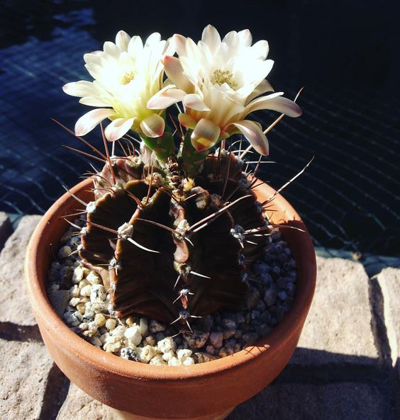 Cactus of the Day. This has been cactus of the day before but reposting it with the nice two flower bloom today. Gymnocalycium Friedrichii  From the Alegria Cactus Collection  Enjoy #cactus #cactusjon #cactusclub #cactuslove #cactushouse #cactuslover #cactushoarder #cactusmagazine #cactuscollection #alegriacactuscollection #waterwise #waterwisegardening #cactusflower by cactus_jon #waterwise #waterwisegardening #drought #droughttolerant