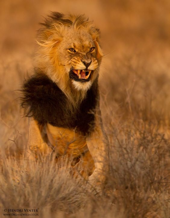 Kalahari lion a male lion flinches away from the swipe of a lioness after mating with her - Images de lions a imprimer ...