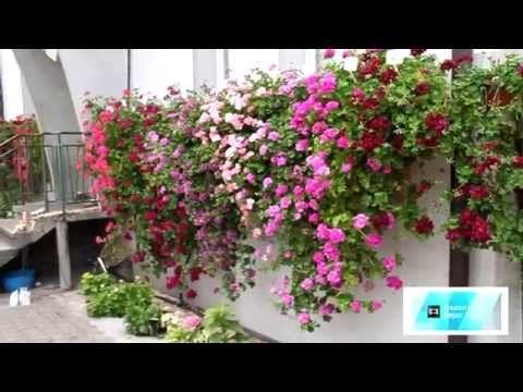 Pelargonie Przewieszajace Fuksjana Pl Youtube Plants Youtube