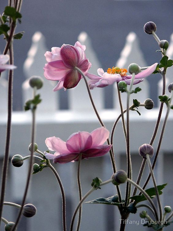 : Picket Fences, Japanese Windflowers, Pink Flowers, Japanese Anenome, Colour Splash, Color Splash, Beautiful Flowers