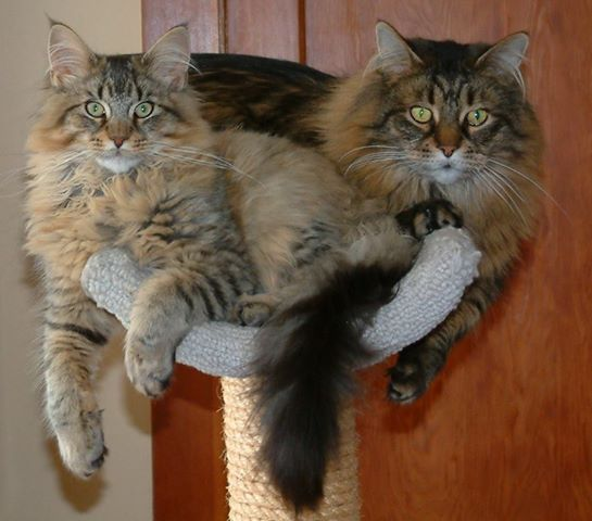 Maine coon, Maine and Brown on Pinterest
