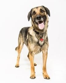 Thunder Toronto Humane Society In Toronto Ontario 5 Year Old Neutered Male German Shepherd Mix At Shelter Since July Dog Adoption Animals Humane Society