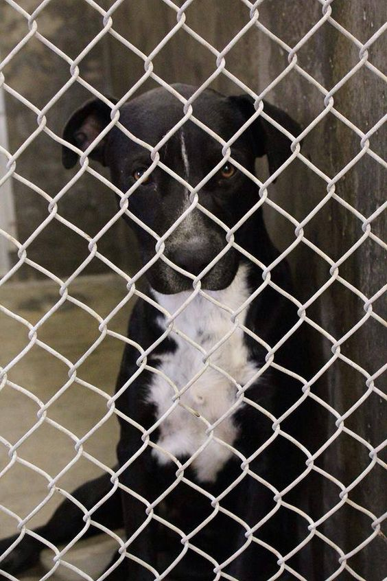 7-18-14: AVAILABLE NOW FOR ADOPTION! Beautiful Black Lab mix, male; 1-2 years old. Lab mixes are very smart, happy and loyal dogs. Great for families too! Kennel A18. Save him from this high kill shelter today! He's counting on us! Odessa TX Animal Control. https://www.facebook.com/speakingupforthosewhocant/photos/a.573572332667009.1073741829.248355401855372/810938692263704/?type=1&theater