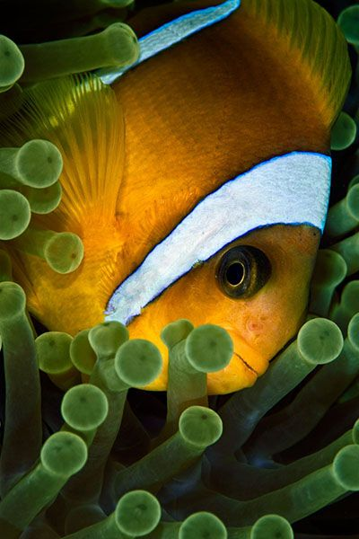 Pinterest the world s catalog of ideas for Clown fish facts