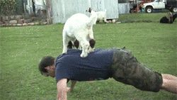 gifs goats doing funny things - Google Search