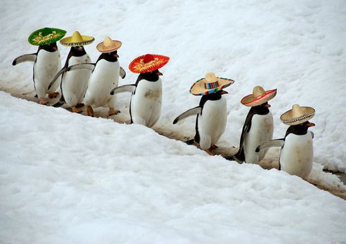Penguins in Sombreros