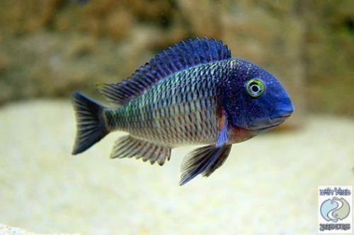 Tropheus Lufubu Extremely Rare Cichlid Fish Cichlids African Cichlid Aquarium