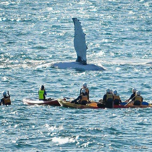 Hotels-live.com/pages/hotels-pas-chers - Howdy! The humpback whales who pass by #ByronBay at this time of year love popping up to say hello... and luckily @seanosheaart was on hand to capture this fantastic moment. This group of kayakers were on tou