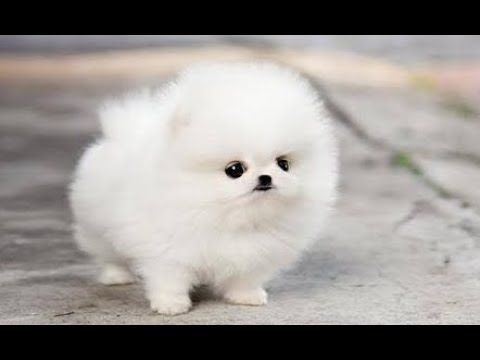 Pomeranians The Most Beautiful Dog In The World Cute Dogs Images Cute Puppy Wallpaper Cute Puppy Photos