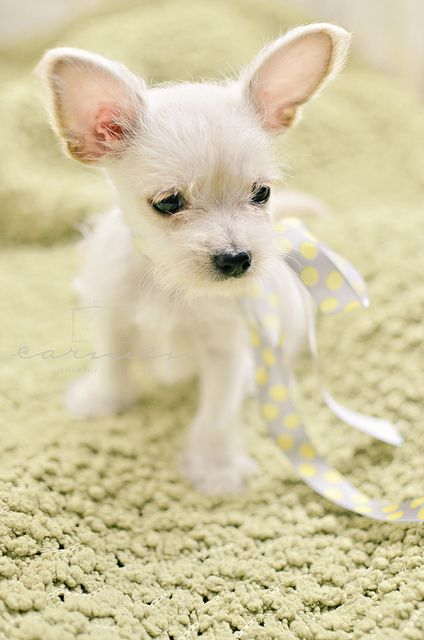 MalteseChihuahua puppy I think i just figured out what