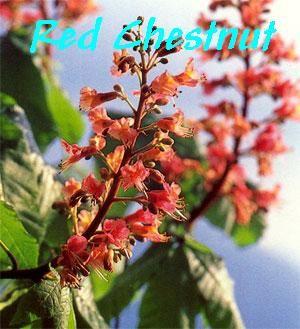 Red Chestnut - Dificuldade em aprender com os erros do passado / Repetindo as mesmas situações.