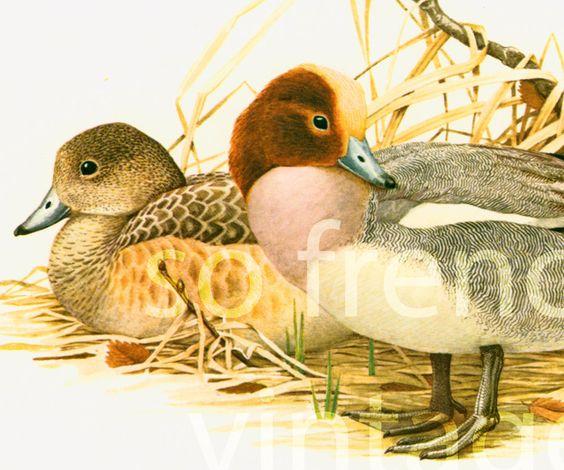 1961 Canard Siffleur, mâle nuptial, Anatidés, Oiseau, Illustration Planche…