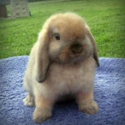 Holland Lops :) i want one!