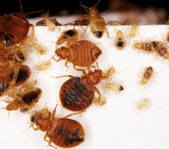 Does baking soda kill bed bugs many other diy methods get rid of bed bugs fast and naturally ccuart Choice Image