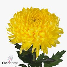 Chrysant. sgl. bislet yellow